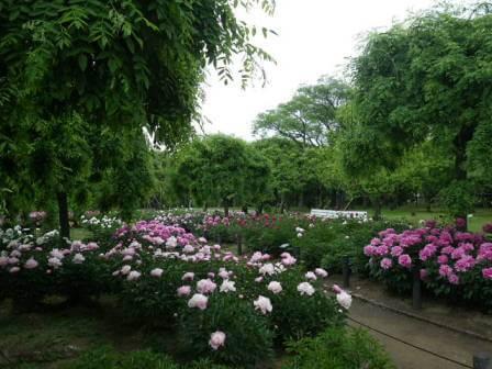 長居植物園のシャクナゲの写真2