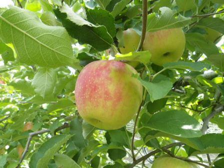 フルーツフラワーパークのリンゴ狩り写真3