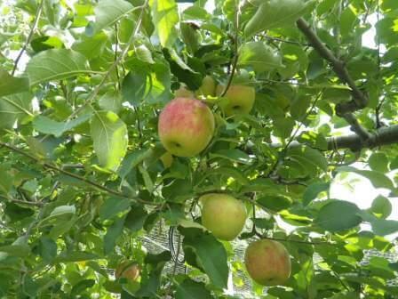 フルーツフラワーパークのリンゴ狩り写真2