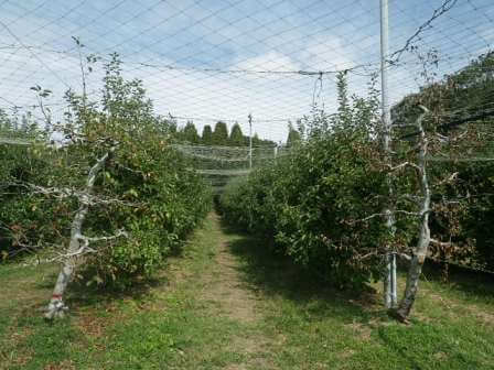 フルーツフラワーパークのリンゴ狩り写真1