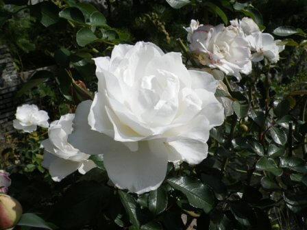 須磨離宮公園のバラ写真2