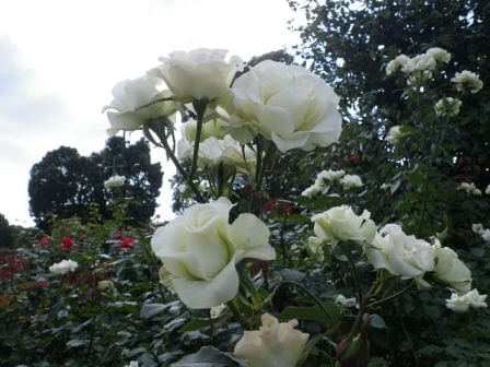 須磨離宮公園のバラ写真4