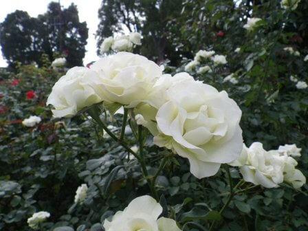 須磨離宮公園のバラ写真8