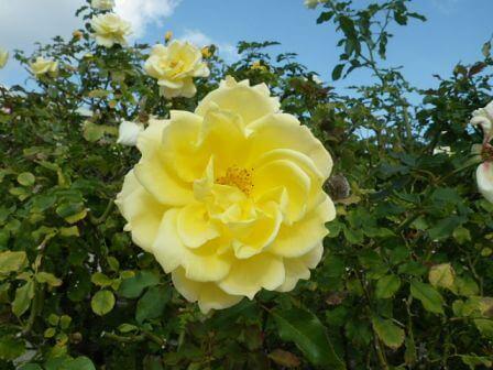 須磨離宮公園のバラ写真7