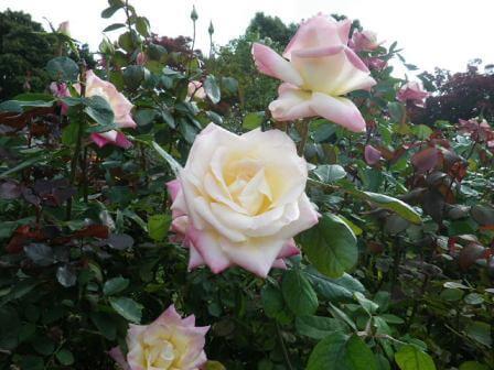 須磨離宮公園のバラ写真6