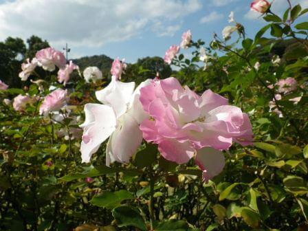 須磨離宮公園のバラ写真