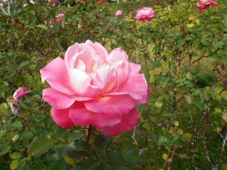 須磨離宮公園のバラ写真3