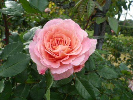 須磨離宮公園のバラ写真5
