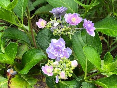 梅雨後に再度開花した『雨に唄えば』の写真