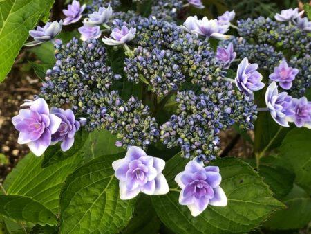 『雨に唄えば』の青花写真