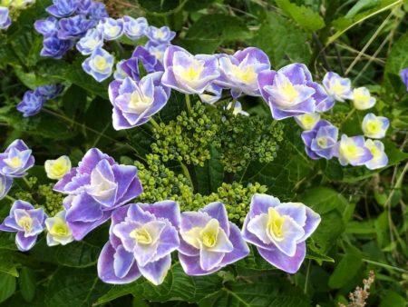 『きらきら星』の青花写真