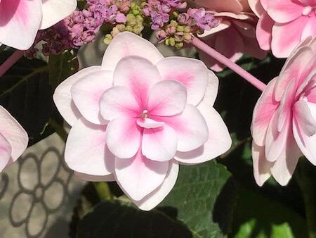 アジサイ『雨に唄えば』の花拡大写真4