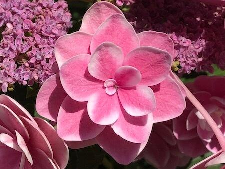 アジサイ『雨に唄えば』の花拡大写真5