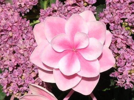 アジサイ『雨に唄えば』の花拡大写真6