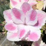 🌼斑入りアジサイの種類と栽培