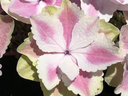 アジサイ『きらきら星』の花拡大写真2