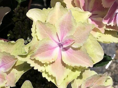 アジサイ『きらきら星』の花拡大写真3