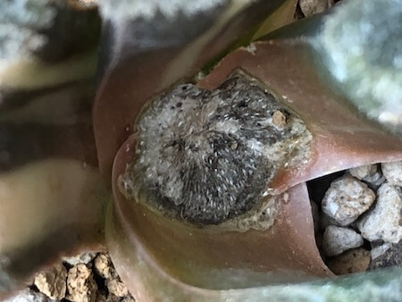 殺菌剤散布後のピグマエア錦