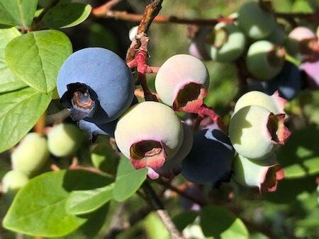 サザンハイブッシュの果実