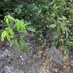 【ライチは低温でも枯れない?】氷点下になる土地にライチの苗を地植えしてみた結果