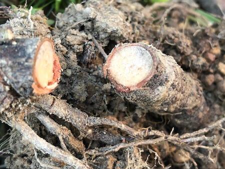 根の中まで枯れたカニステルの写真