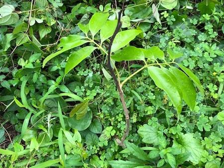 越冬して新しい枝でたライチの写真2