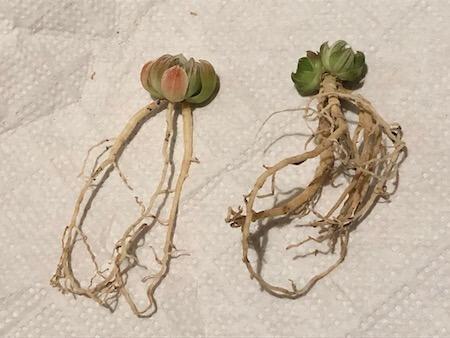 セタータ錦(交配種)の苗写真