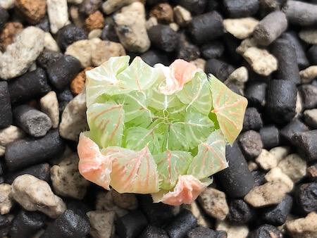 セタータ錦(交配種)の植え付け写真(上)
