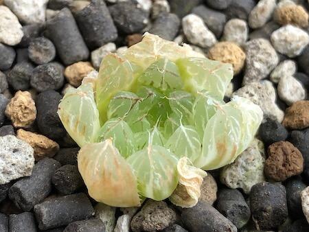 セタータ錦(交配種)の植え付け写真(上)2