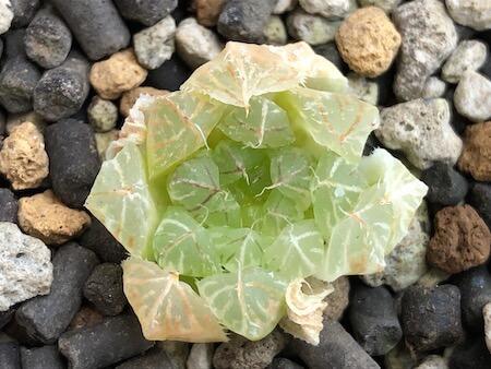 セタータ錦(交配種)の植え付け写真(上)3