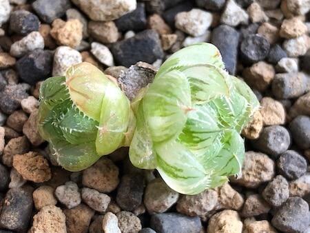 セタータ錦(交配種)の子株写真2