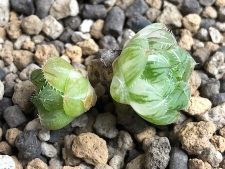 セタータ錦(交配種)の子株写真3