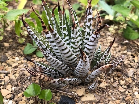 外に植えているアテヌアータの写真
