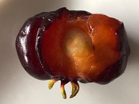 ピタンガの果実写真9