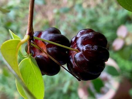 ピタンガの果実写真7
