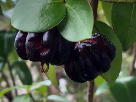 ピタンガの果実写真8