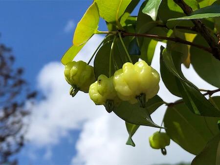 ピタンガの果実写真2