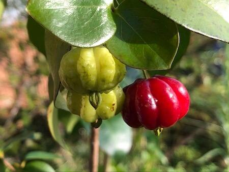 ピタンガの果実写真4
