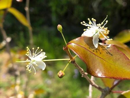 ピタンガの開花写真