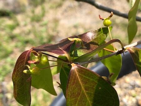 果実が膨らみ始めたピタンガの写真