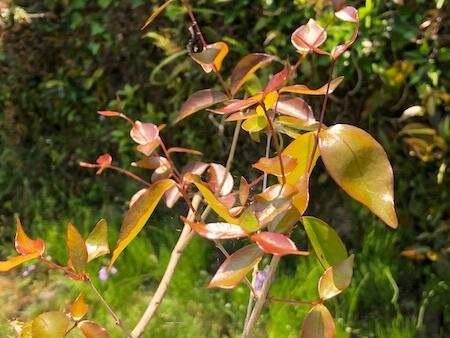 春になり落葉したピタンガに葉が出てきた写真