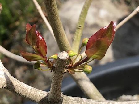 葉と一緒に出てきたピタンガの花芽写真