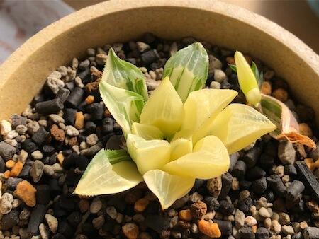 葉を回復中の姫美人錦写真1