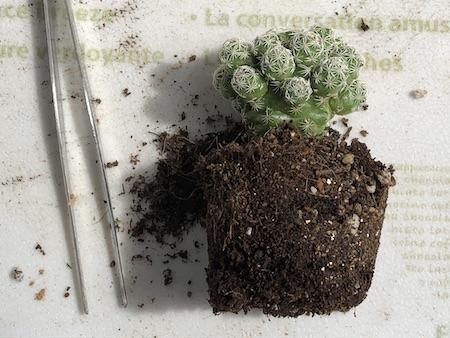 ダイソーで購入した銀手毬(ギンテマリ)を鉢から取り出した写真