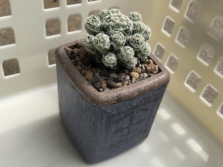 ダイソーで購入した銀手毬(ギンテマリ)を植え替えた写真