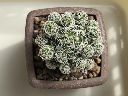 ダイソーで購入した銀手毬(ギンテマリ)を植え替えて上から見た写真