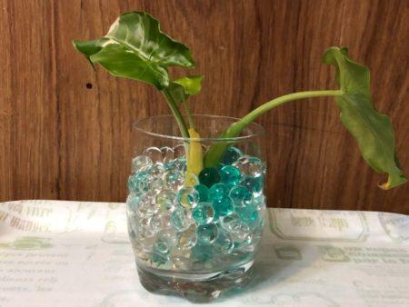 ダイソーのジェルポリマーに斑入りクワズイモを植え付けた写真