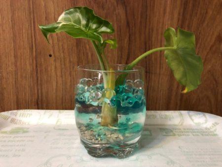 ダイソーのジェルポリマーに斑入りクワズイモを植え付け水耕栽培にした写真