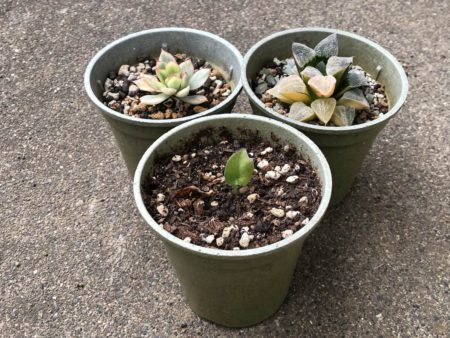ダイソーの鉢に植え替える前の植物写真