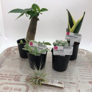 ダイソーにある百均観葉植物の種類に驚き!